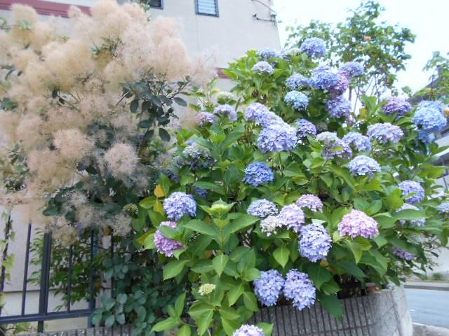 紫陽花と綿の花が入り乱れて