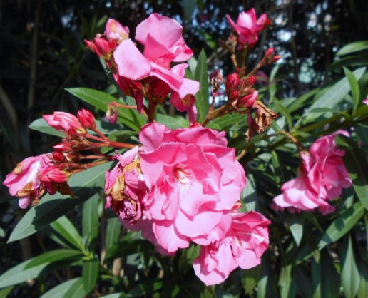 陽光:桜(朝鮮桜)