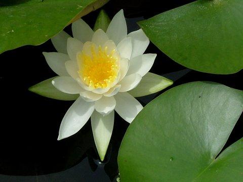 スイレンの花(白色)