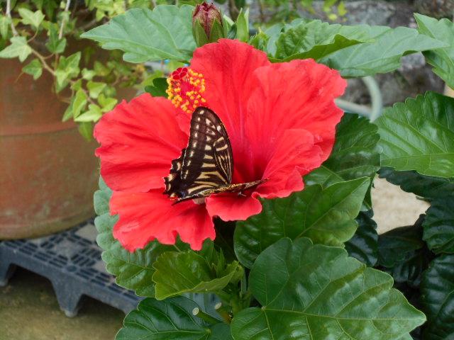 花に止まる「アゲハチョウ」