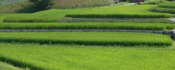増々青く「稲が・・・」