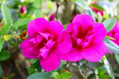 紫慕情IMG_4452