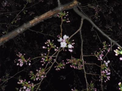 3月25日 お茶の水 丸ノ内線 桜 さくら