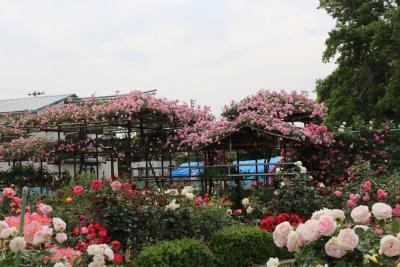 ばらの都苑     5月25日(4)(1280x853)