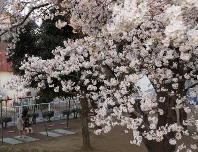 桜の下で遊ぶ親子