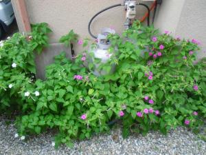 7-30おしろい花