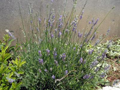 lavender09.jpg