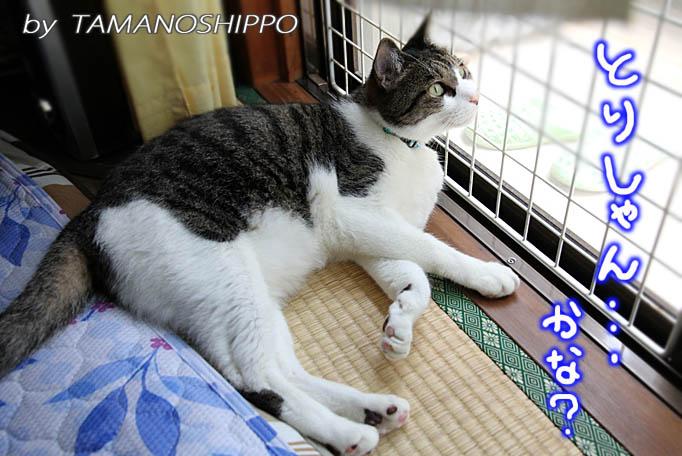 外を眺める猫(網戸有り)