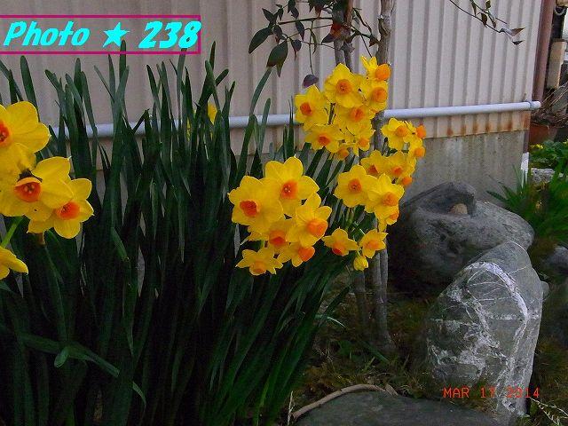 黄色い水仙♪