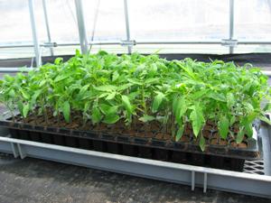 トマト仮植1