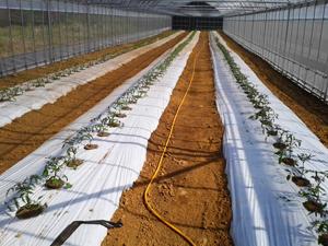 トマト定植5