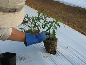 トマト定植4