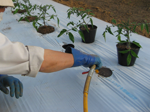 トマト定植3