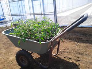 トマト定植6