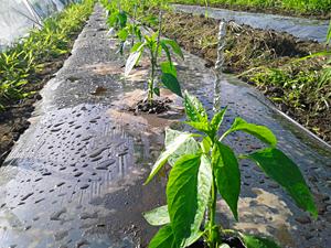 野菜成長過程4