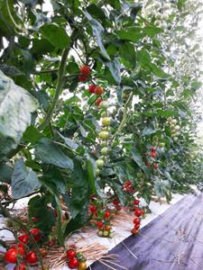 ハウストマト4