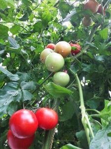 ハウストマト2