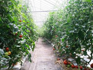 ハウストマト1