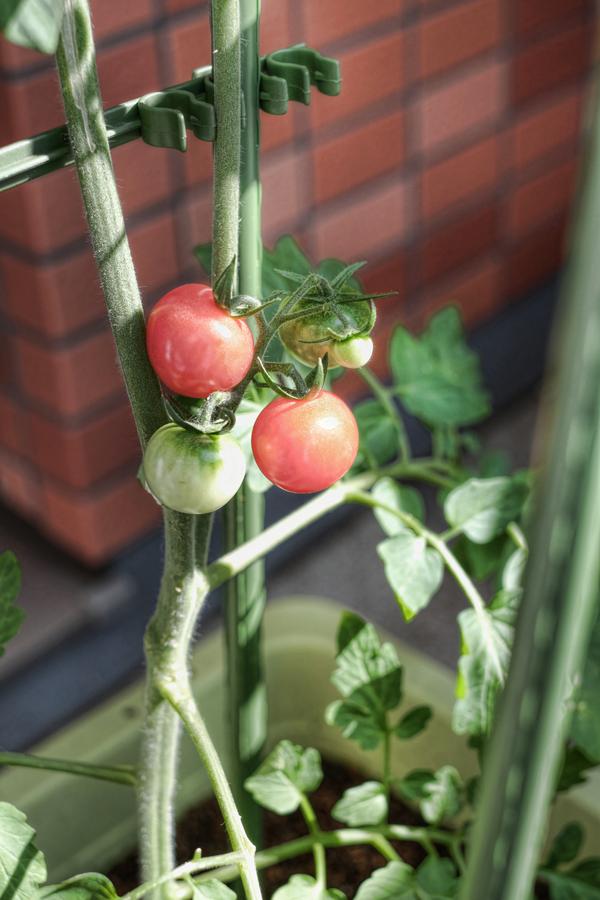 tomatito1.jpg
