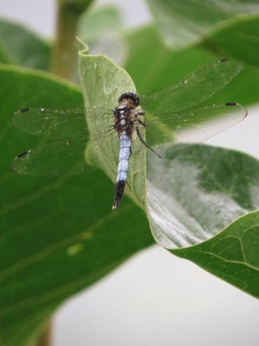 dragonfly8-1.jpg