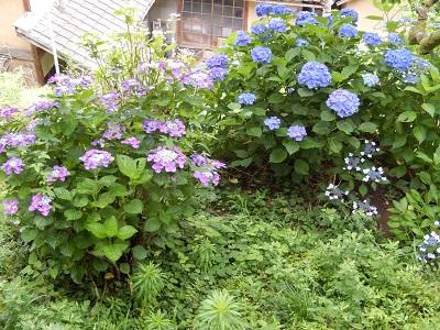 岩屋・紫陽花2