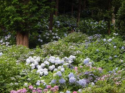 吉備津紫陽花