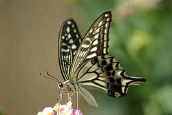 250px-Papilio_xuthus_1024px.jpg