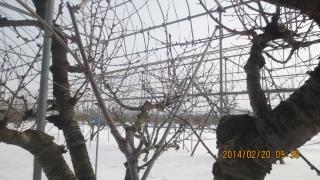 4前東の主枝
