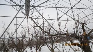 2西の主枝
