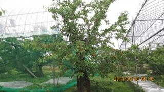 ジャボレー樹