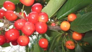 短果枝と長果枝