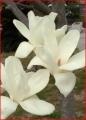 木蓮(2)