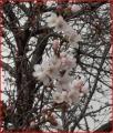 葛城公園の桜