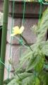 ゴーヤの雌花