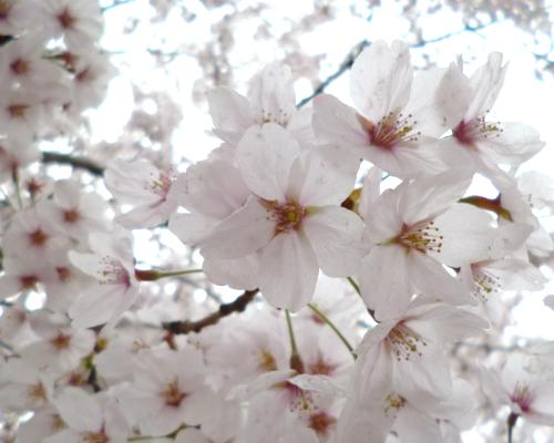 140418桜