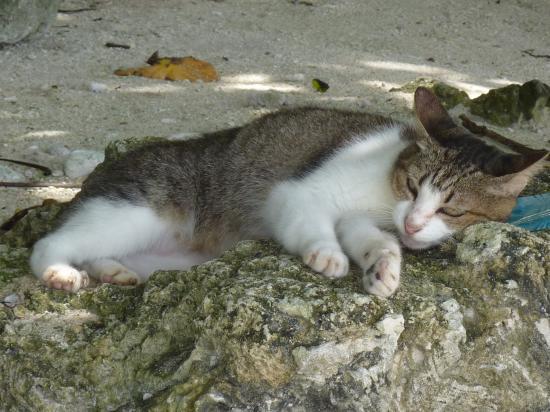 竹富島 猫