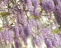 藤の花アップ