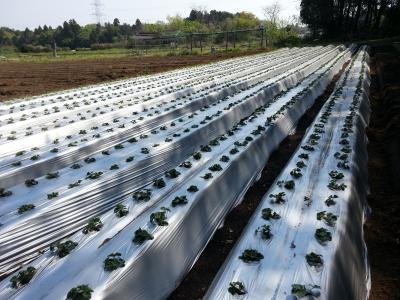 いちご路地栽培