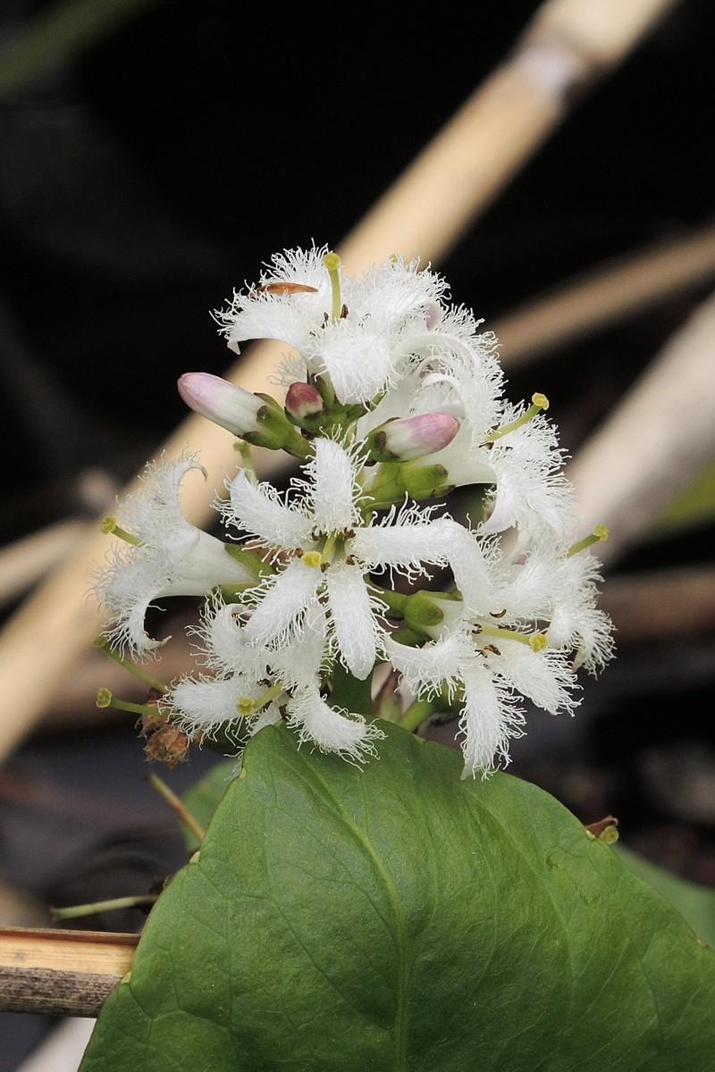 ミツガシワ 花序