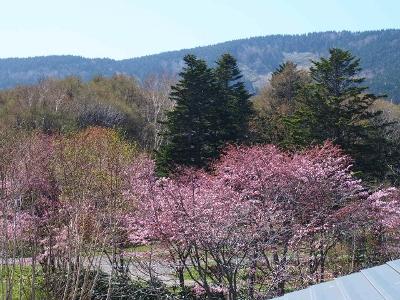 桜咲く (400x300)
