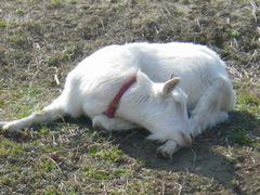 [写真]ヤギのアランが、首をまるめてお昼寝しているところ