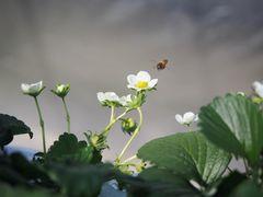 [写真]ミツバチがみつけたいちごの花にとまったところ