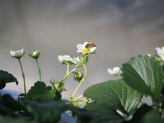 [写真]ミツバチがいちごの花をみつけて近寄ってきたところ