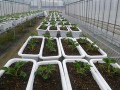 [写真]来シーズン用の親苗を植え付けたプランターを育苗ハウス2号に並べたところ