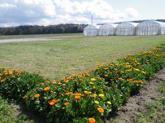 [写真]ポレポレ農園北側にあるキンセンカコーナー