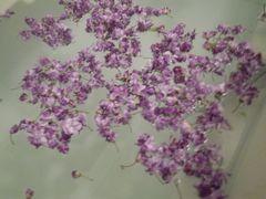 [写真]近所の方にいただいた藤の花びらを浴槽に浮かべた様子
