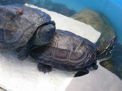 [写真]トラちゃんの甲羅に乗ろうとしているクロちゃんとクロちゃんの甲羅で休んでいるてんとう虫の様子