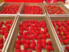 [写真]収穫用ケースに朝摘みしたいちごが並んでいる様子