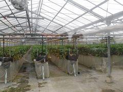 [写真]やよいひめの本場・群馬県(富岡市)のいちご農家さんのハウス