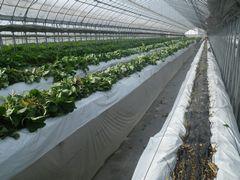 [写真]いちごの苗の株抜き作業をしている様子